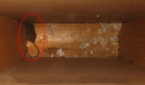 A mouse living in the walls of a traditionally built wood home